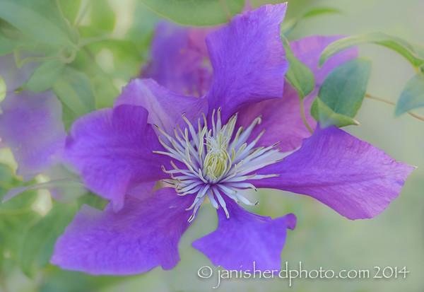 Clematis, purple