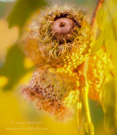 Burr oak acorns