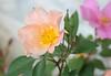 Mutabilis roses