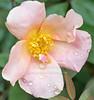 Mutabilis rose and rain drops