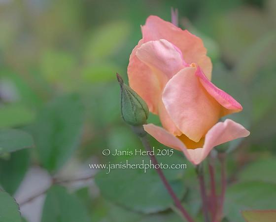 Mutabilis rosebud