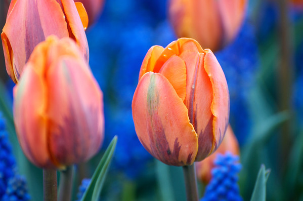 05-05-12 Tulips