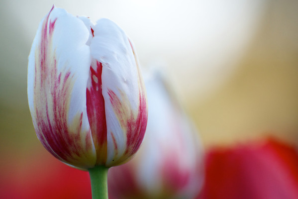 05-11-12 Tulips