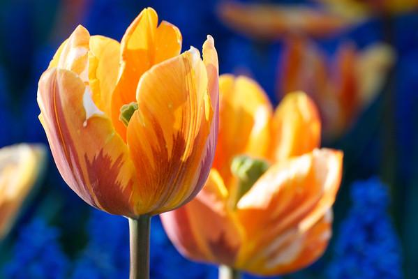 05-12-12 Tulips etc