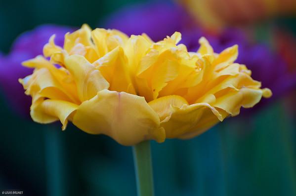 05-14-16 Tulip Festival