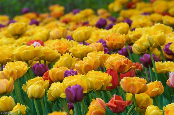 05-15-16 Tulip Festival