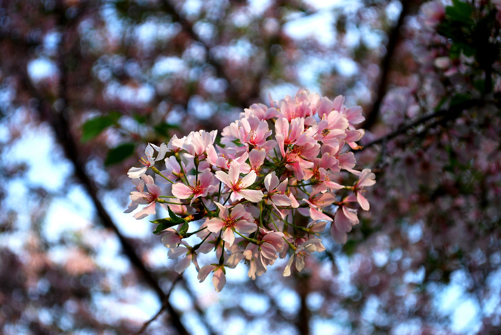 A sundown visit to see Washington DC's famed cherry blossoms at their best. A stroll through a cherry-bedecked street in the suburbs and a peek at some of the more salient aspects of the Cherry Blossom Parade in the nation's capital.