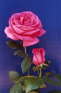 06Nov2004-21_Roses