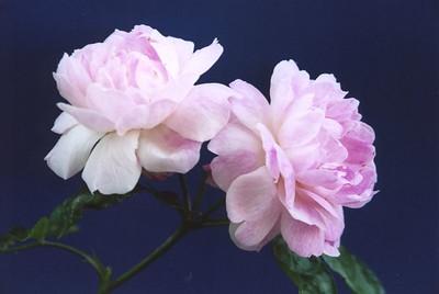 06Nov2004-16_Roses