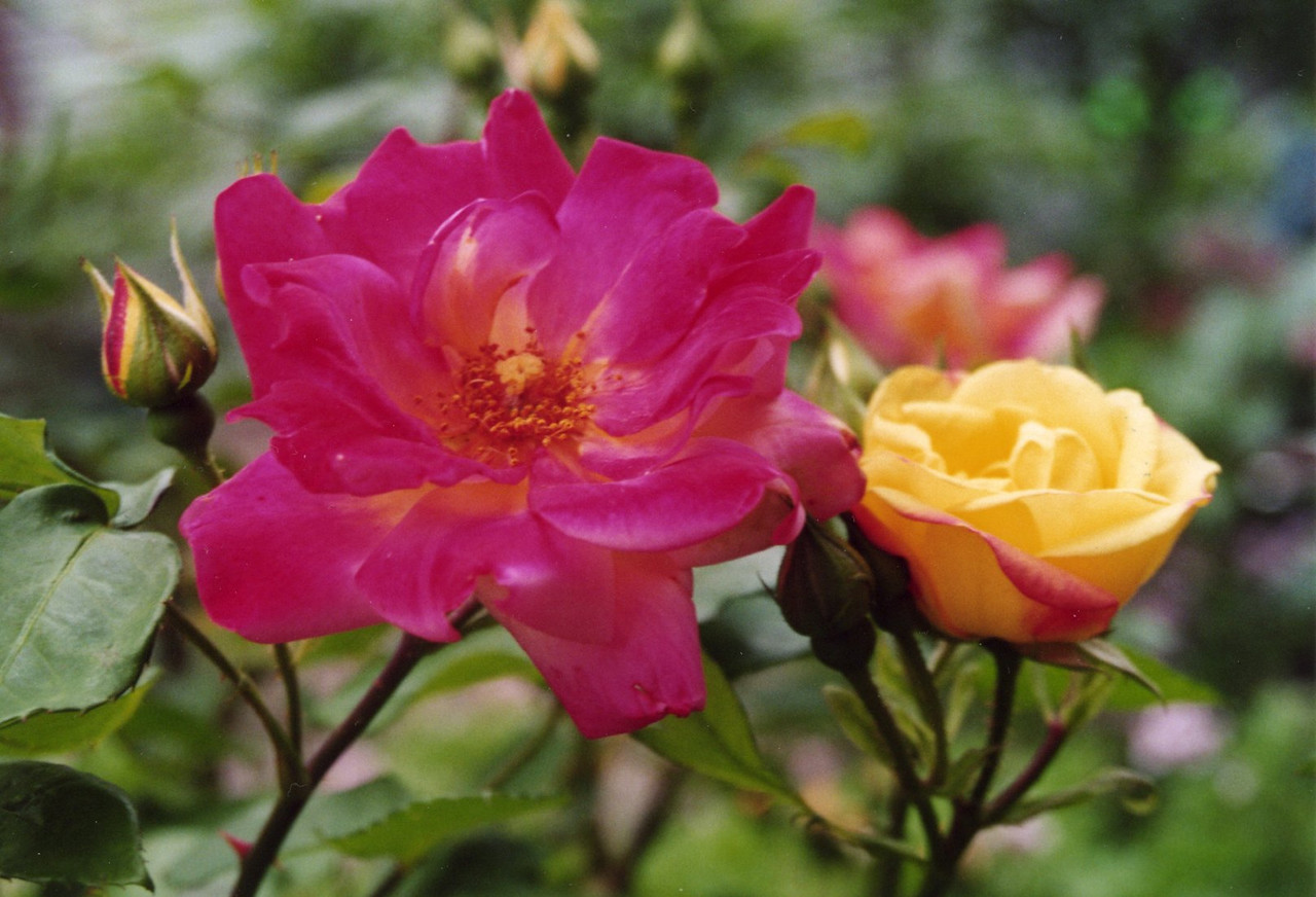 06Nov2004-11_Roses