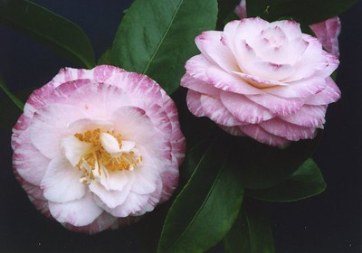 13Oct2004-12_PrinceofBritainCamellias