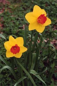11Sep2004-e_Daffodils