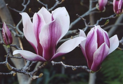 02Sep2004-12_Magnolias