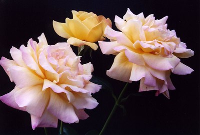 28Feb2004-1_PeaceRose