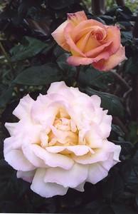 18Nov2003-14_Roses