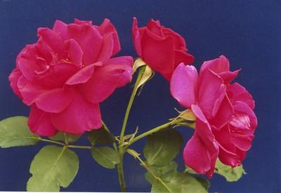 19Dec2003-6_Roses