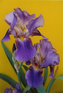 03Dec2003-14_BeardedIris