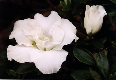 16Jun2004-20_WhiteRose