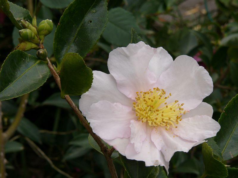 24Apr2005_889_Camellia. Photograph taken by David Fong with DMC-FZ10