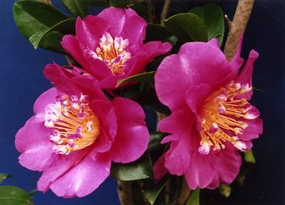 16Apr2005_15_Camellia. Dr Stephen Fong. Sigma SA-300N.