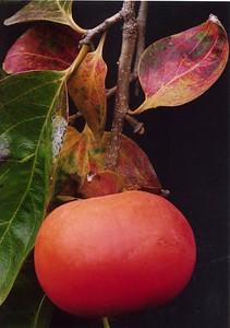 26May2005_15_Persimmon. Dr Stephen Fong. Sigma SA-300N. Fuyu variety