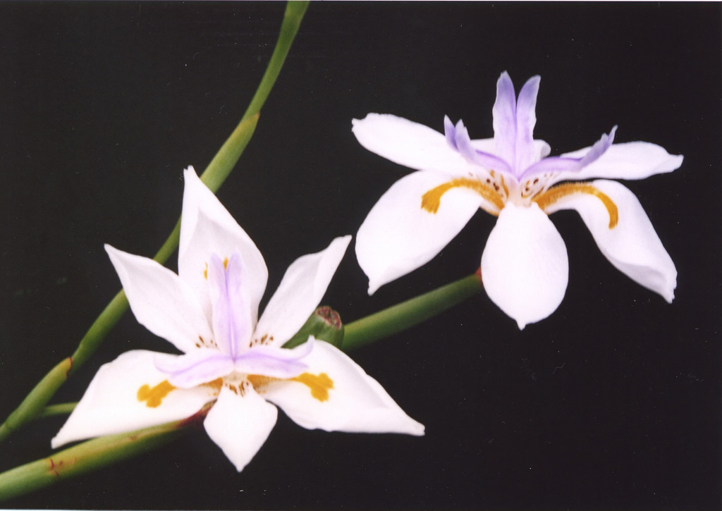 09Mar2005_8_Wildiris. Photograph taken by Dr Stephen Fong with 35 mm SLR (Sigma SA-300N)