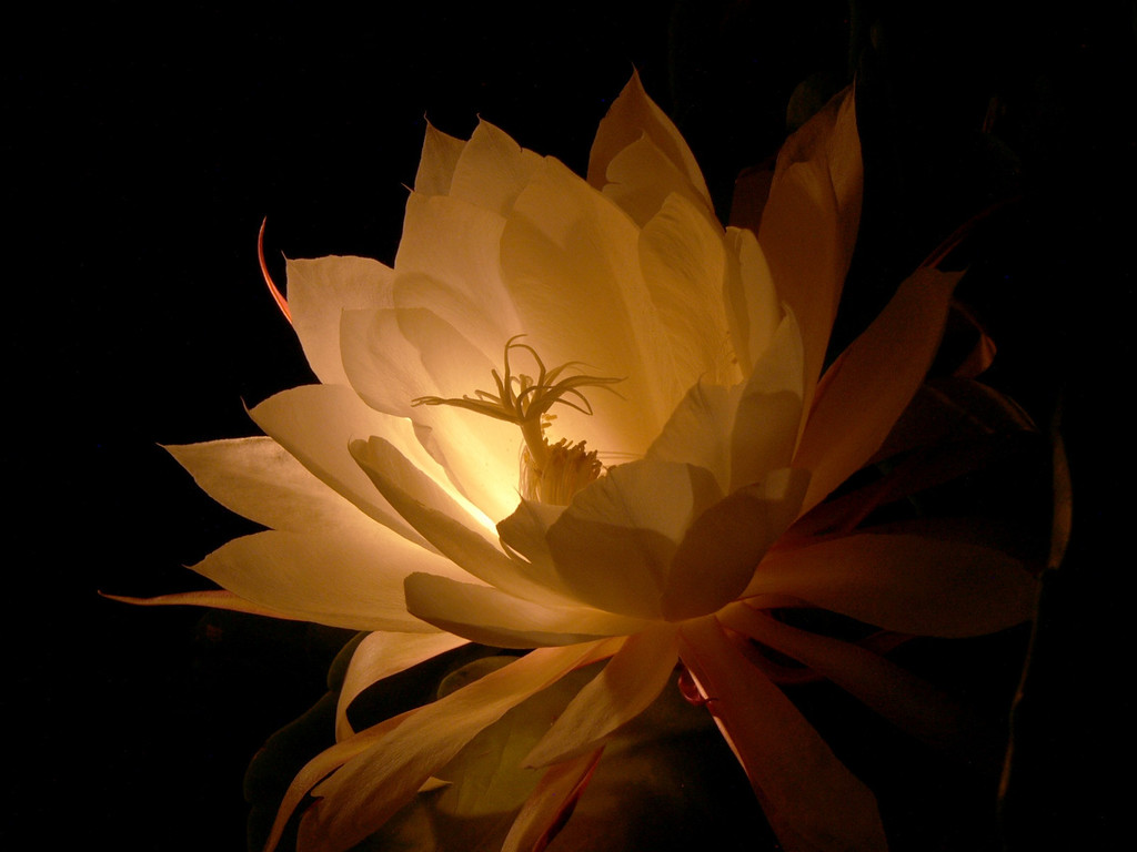 01Mar2005_803_Epiphyllum. Photograph taken by David Fong with DMC-FZ10. Colour corrected with the GIMP.