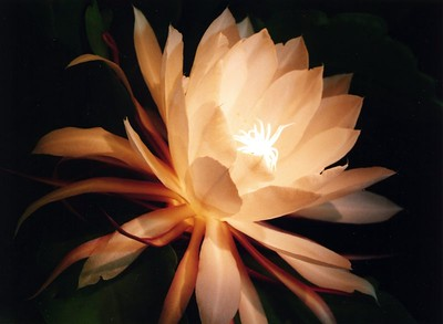 09Mar2005_21_Epiphyllum. Photograph taken by Dr Stephen Fong with Sigma SA-300N, scanned wth Epson Perfection 1200S. Camera on tripod. Light source from incandescent flashlight and portable flourescent light.