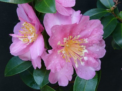 24Apr2005_883_Camellia. Photograph taken by David Fong with DMC-FZ10