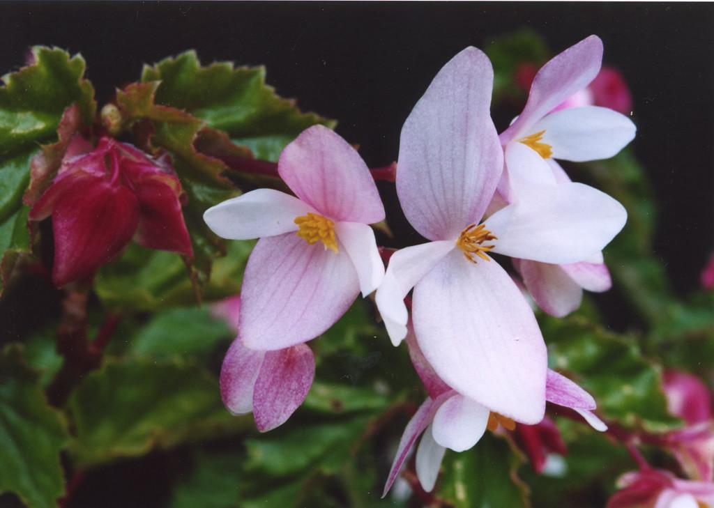 28Apr2005_13_Begonia. Dr Stephen Fong. Sigma SA-300N.