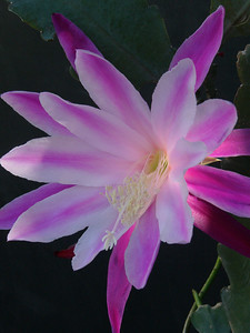 05Nov05_1662_PinkRocket (epiphyllum) Picture taken by David Fong with Panasonic DMC FZ-10