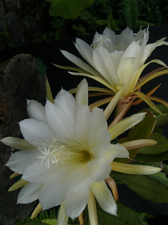 18Dec05_1667_Epiphyllum Picture taken by David Fong with Panasonic DMC FZ-10
