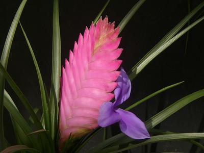 18Feb2006_1753_Tillandsia_cyanea, a bromeliad