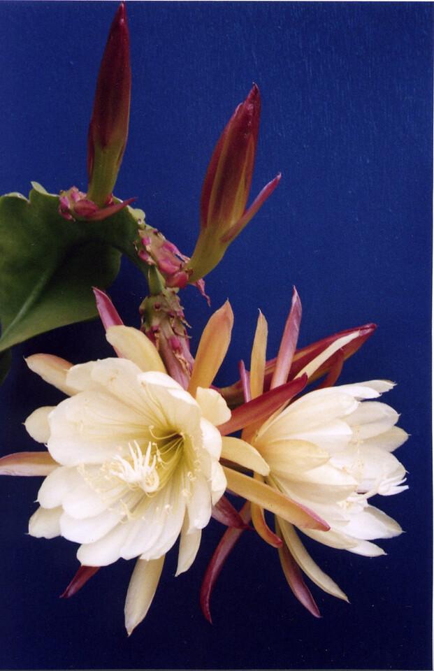 03Dec2004_6_Epiphyllum
