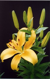 07Dec2004_1_AsiaticLily