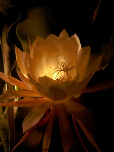 27Jan2005 Epiphyllum_757d Modified version of photograph shown earlier in this gallery.  Photograph taken with hand-held DMC-FZ10. Flower is lit by an incandescent torch to the left of the flower. Post-processing colour correction and removal of an overblown highlight done with the GIMP.