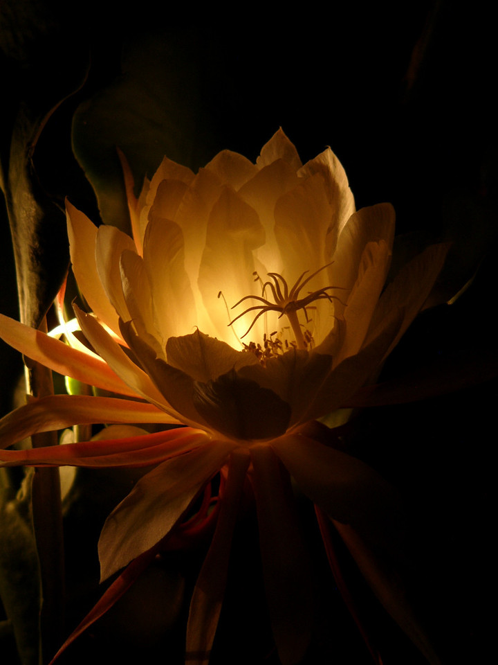 Epiphyllum. Photograph taken at night by David Fong with DMC-FZ10. The only light source is an incandescent torch shining from the left hand and slightly from the back of the flower. No image manipulation.