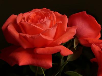 26Feb2005_777_Roses