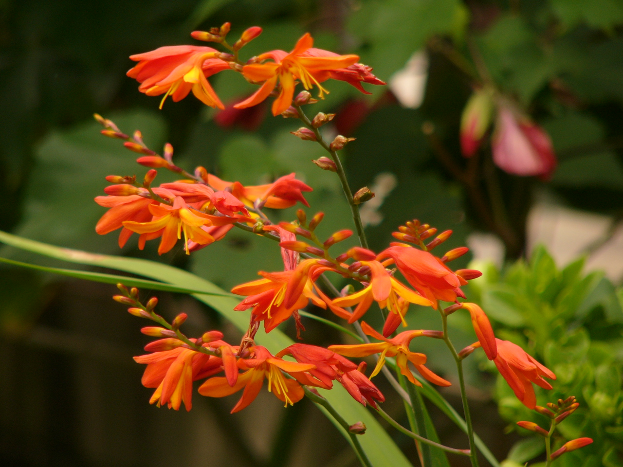 Photograph taken with DMC-FZ10 by David Fong. I have no idea what flower this is!