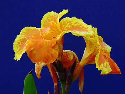 Canna. Taken by David Fong with DMC-FZ10. 20 January 2005. Colour adjusted with the GIMP.