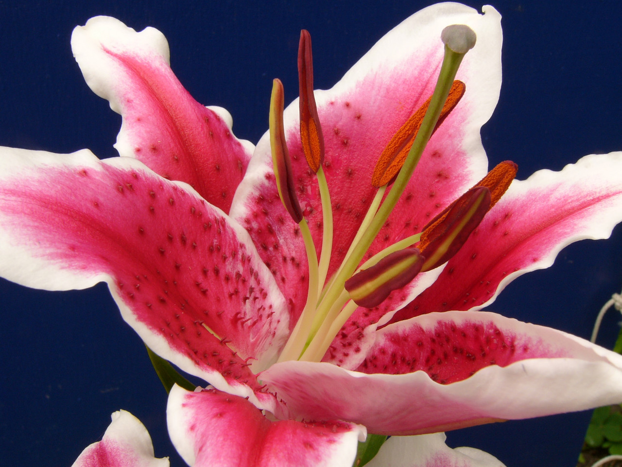 Asiatic Lily. Photograph taken with DMC-FZ10 by David Fong.