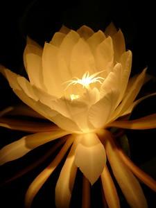 Epiphyllum. Taken by David Fong with DMC-FZ10. No image manipulation.