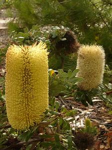 20060426_2086 Banksia epica