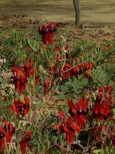 20060426_2129 Kangaroo paw Botanical Gardens, Perth
