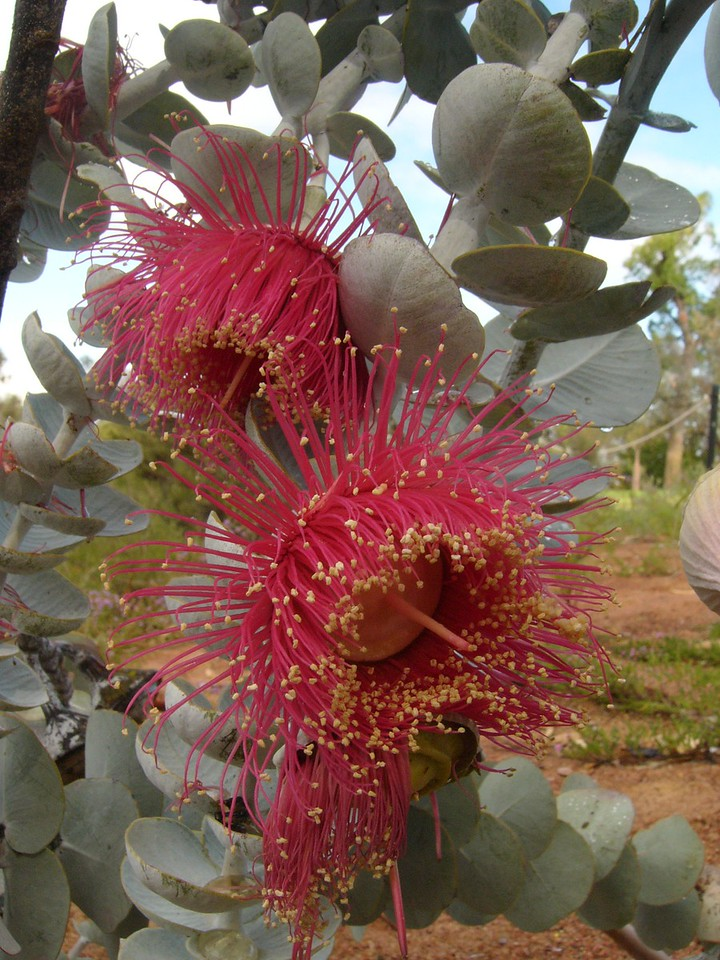 20060426_2124 Eucalyptus rhodantha var rhodantha Botanical gardens, Perth
