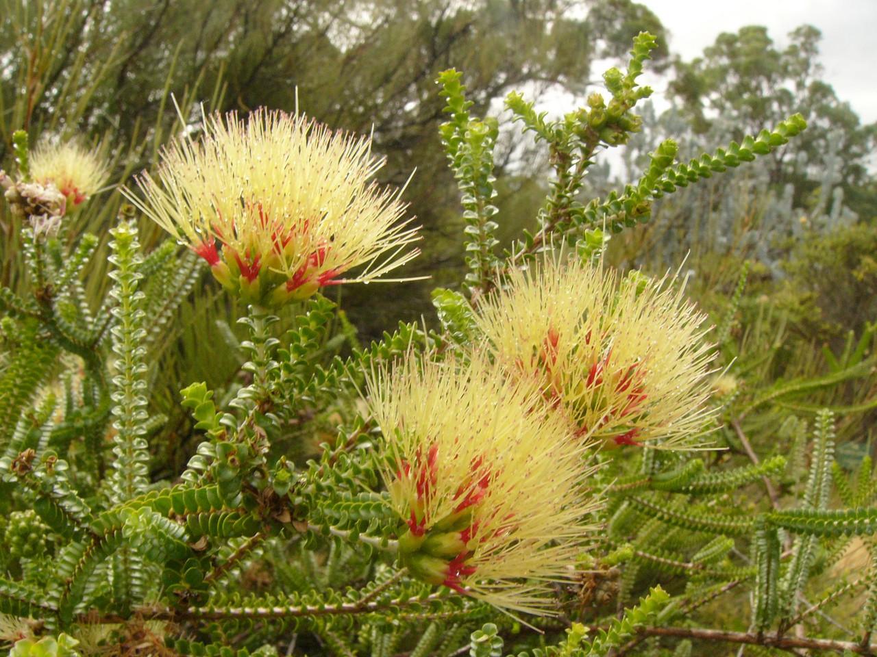 20060426_2122 Sand bottlebrush (Beaufortia squarrosa) Botanical gardens, Perth.