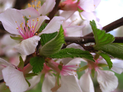 cherry blossom 7