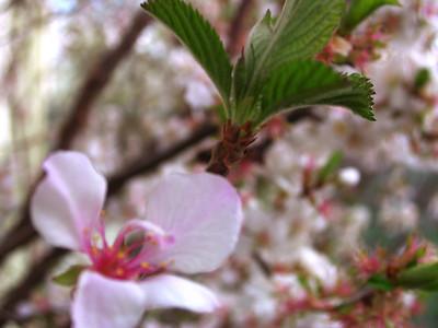 cherry blossom 4