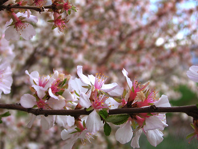 cherry blossom 9