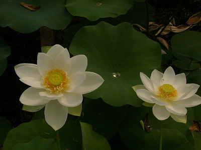 20070312_2681 Lotuses